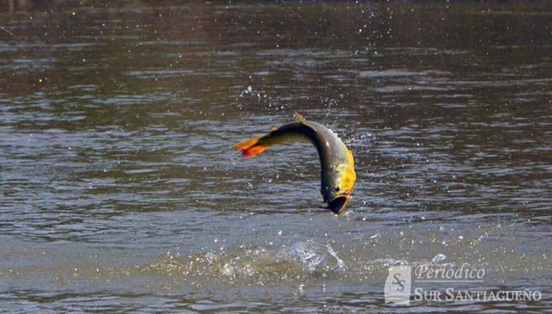 pesca-dorado