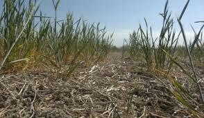 seca trigo