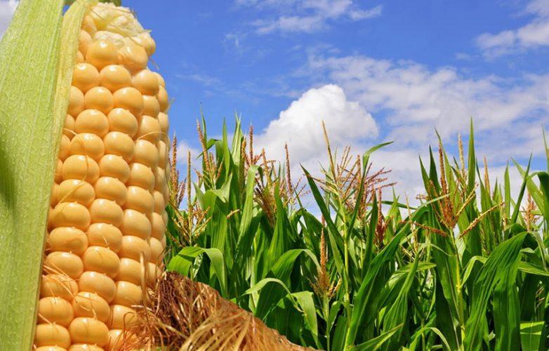 maiz choclo
